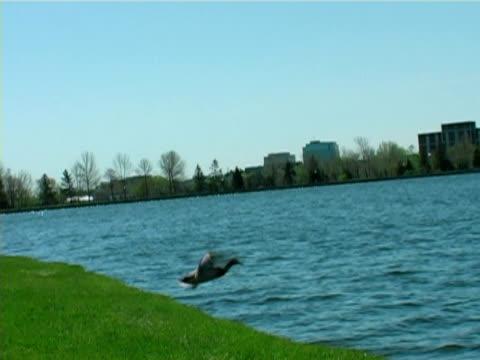 anatra volante sul lago - uccello acquatico video stock e b–roll