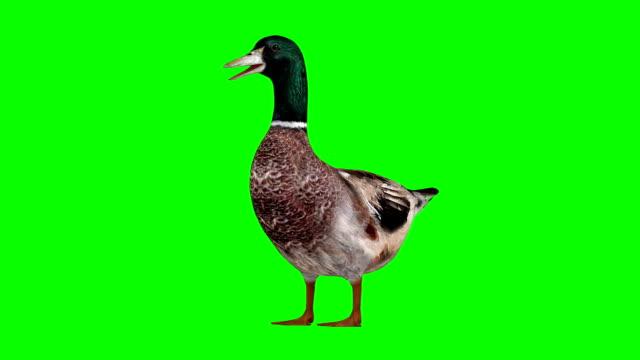 duck idle green screen (loopable) - утка водоплавающая птица стоковые видео и кадры b-roll
