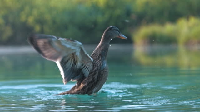 enten im see  - slowenien stock-videos und b-roll-filmmaterial