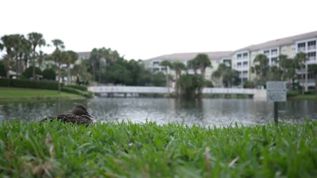 A duck in tropical southern America state resting by a resort lagoon on overcast day - V1 - vídeo