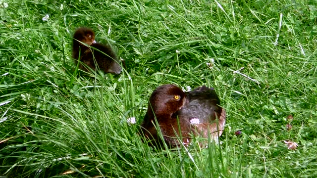 Duck mother and her children are ducklings.