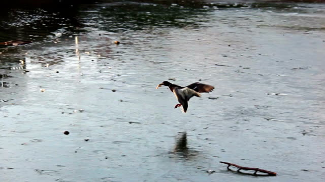 Duck on the river bank video