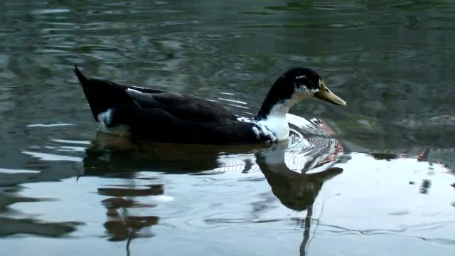 アヒルの水 - 水鳥点の映像素材/bロール