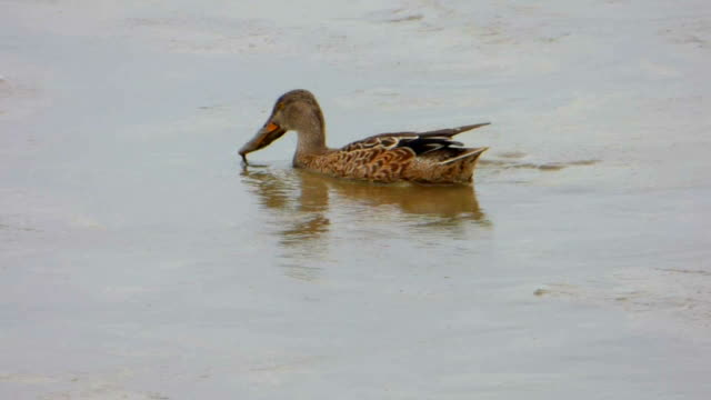 Duck Probing in Mud For Food video