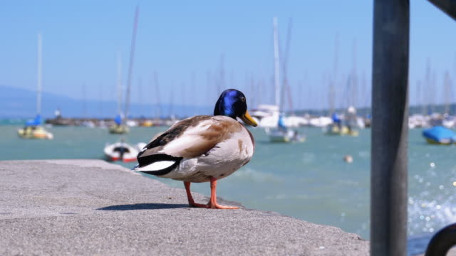 Duck sits on the pier of Lake Geneva against the background of the dock of ships