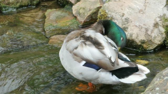 Duck standing in a creek video