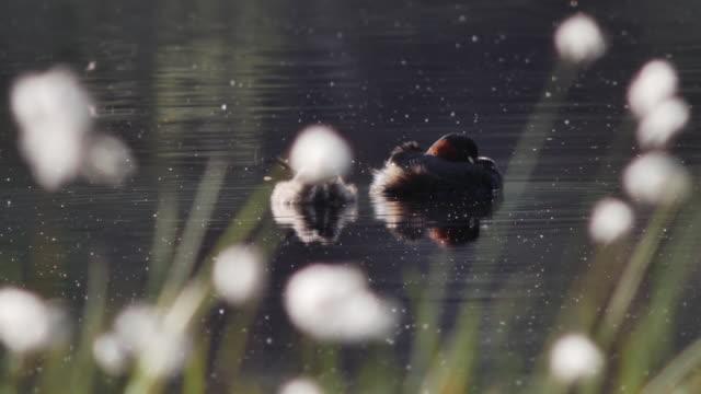 黒い森の池を泳ぐアヒル - 水鳥点の映像素材/bロール