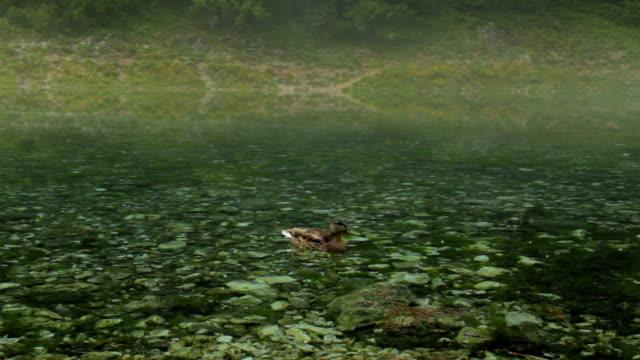 grunersee yeşil tragoss, styria, avusturya alpleri gölde yüzme ördek - styria stok videoları ve detay görüntü çekimi