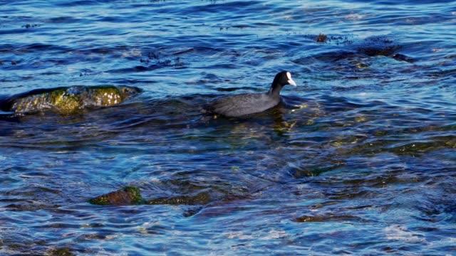 ente schwimmen im meer - endemisch stock-videos und b-roll-filmmaterial