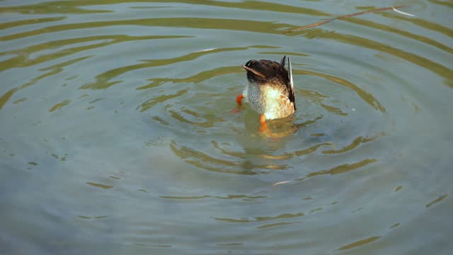 Duck swimming in water finding food
