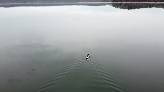 Duck swimming on the lake evening pond video