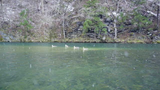 Duck swimming video