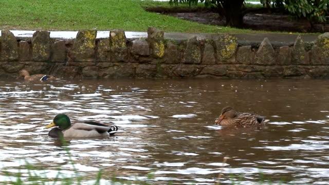 鴨の - 水鳥点の映像素材/bロール