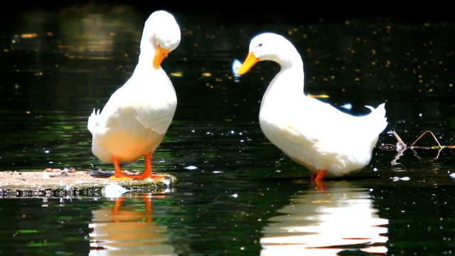 утка - утка водоплавающая птица стоковые видео и кадры b-roll