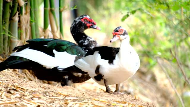 duck video