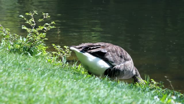 Duck walking and drinking water video