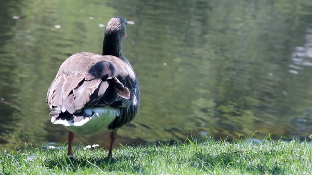 Duck walking on the grass and eating video