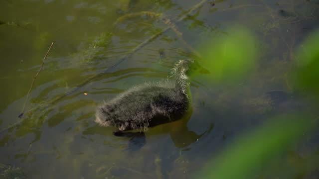 duck walks by the lake - white house filmów i materiałów b-roll