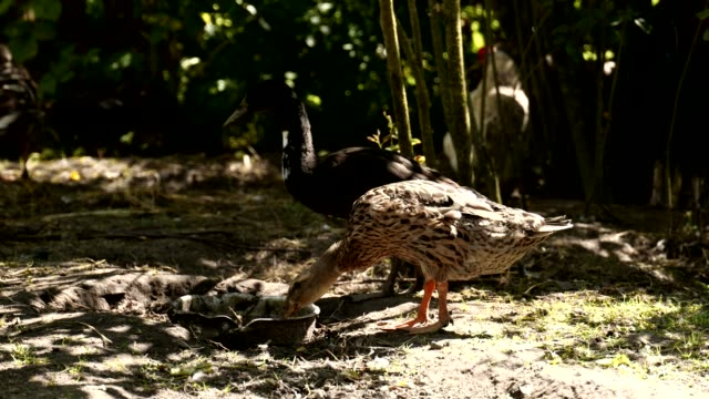 Duckling in the yard video