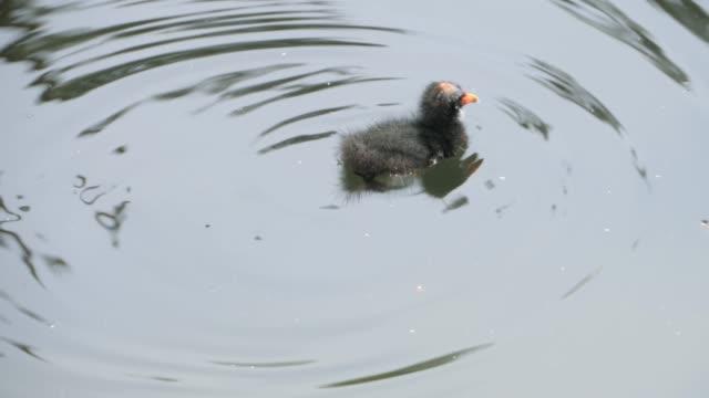 Duckling making ripples video