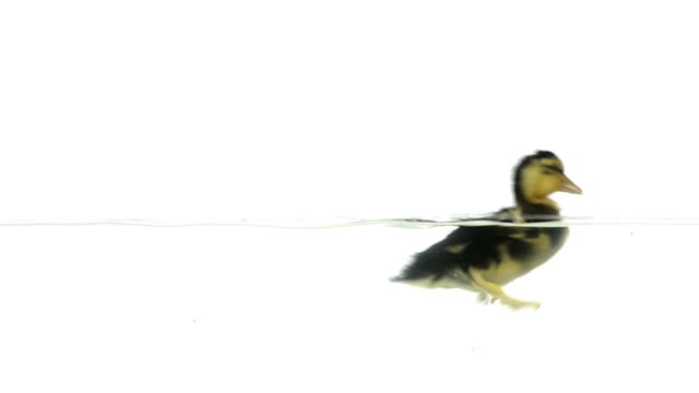 Duckling swimming in slow motion video