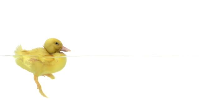 утёнок плавательный - утка водоплавающая птица стоковые видео и кадры b-roll