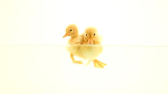 ducklings floating on water video