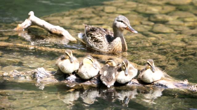 mama ducklings con anatra - anfibio video stock e b–roll