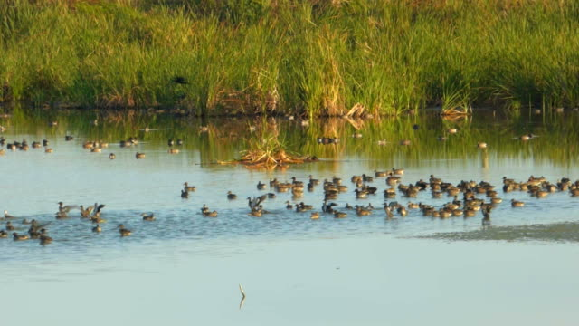 Ducks And Shorebirds In A Wetland video