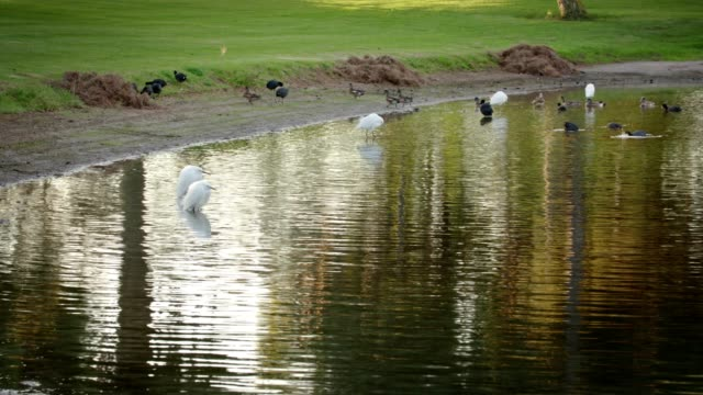 Ducks and Snowy Egrets feeding on the bank of a pond