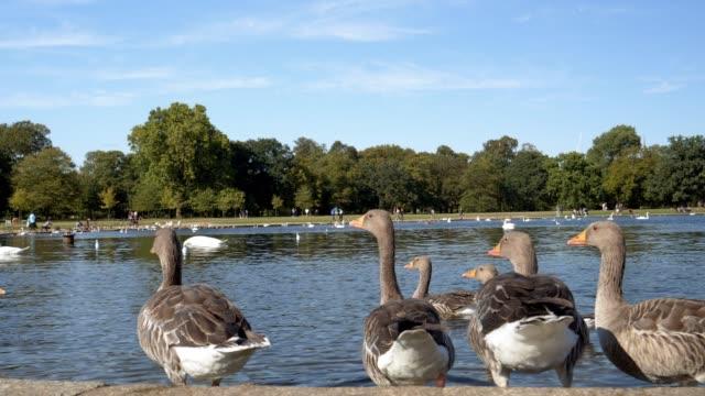 Enten im Londoner Hyde Park Lake – Video