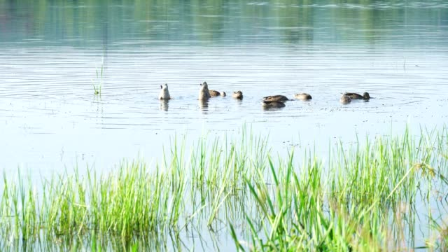 Ducks dive for food into water near shore. Manual shooting 4K
