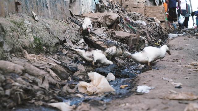 vídeos de stock e filmes b-roll de ducks eating trash - economia circular