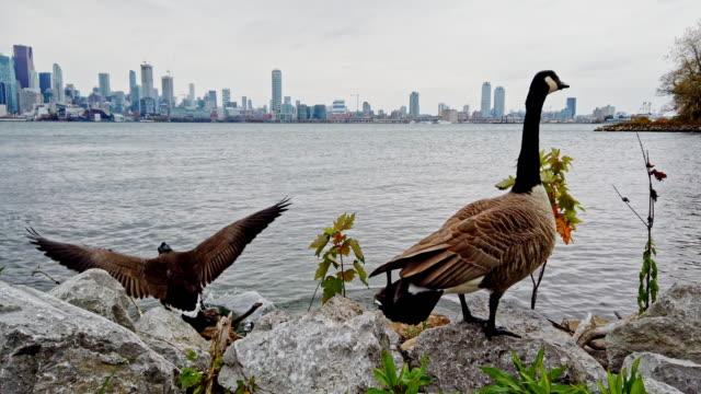 vídeos de stock, filmes e b-roll de patos que apreciam um dia nublado perto do lago toronto - américa do norte