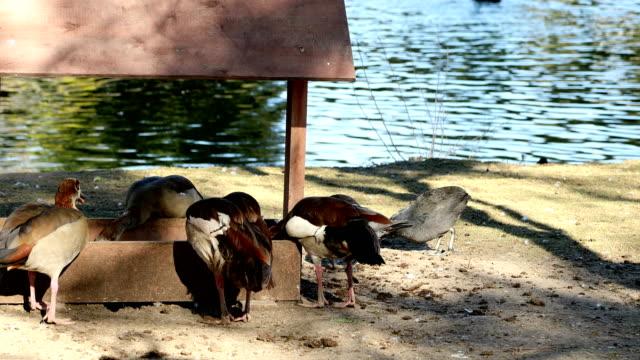 Ducks feeding in the farm near the water