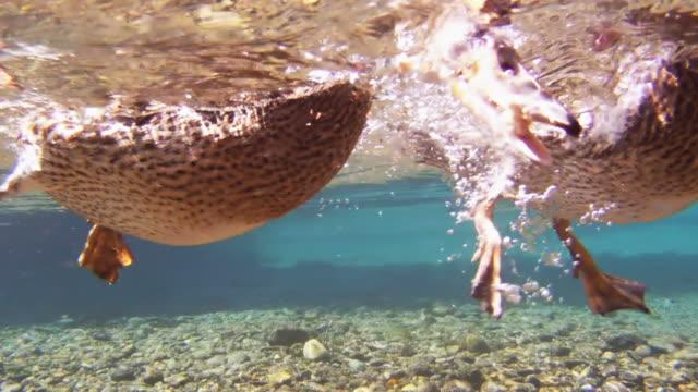 уток футов, вид подводный использовать вёсла от current - утка водоплавающая птица стоковые видео и кадры b-roll