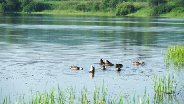 Ducks in lake dive for food under water. Video shooting 4K