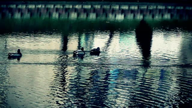 アヒルの湖スローモーション - 水鳥点の映像素材/bロール