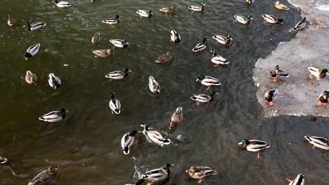 ankor i is-hålet på floden. fåglar på dammen i vinter - djurlem bildbanksvideor och videomaterial från bakom kulisserna
