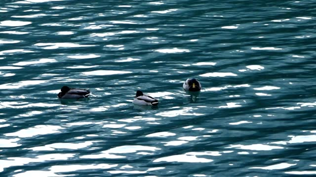 Ducks in the lake, Italy video