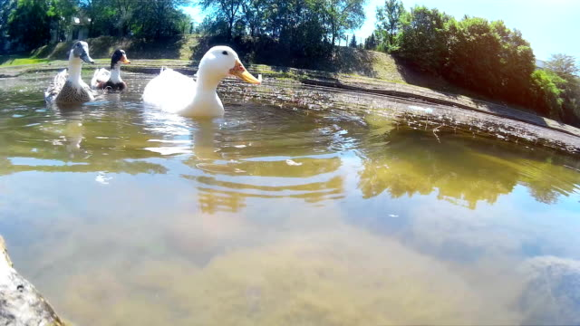 Ducks on a Beautiful Natural Lake video