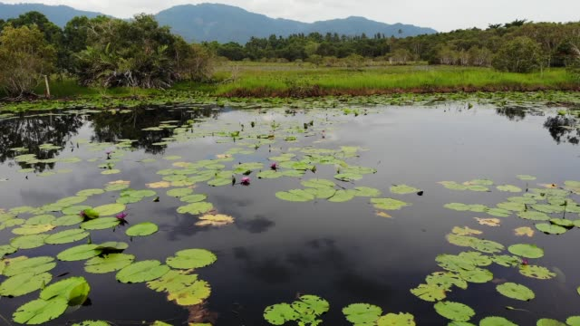 Ducks on lake with water lilies, pink lotuses in gloomy water reflecting birds. Migratory birds in the wild. Exotic tropical landscape with pond. Environment conservation, endangered species, drone