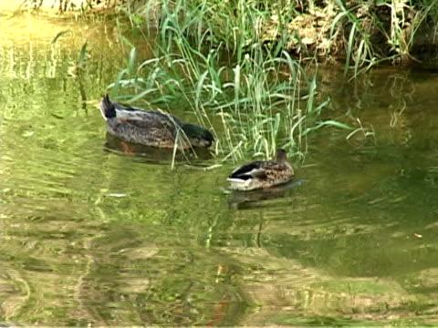 anatre sul fiume - uccello acquatico video stock e b–roll