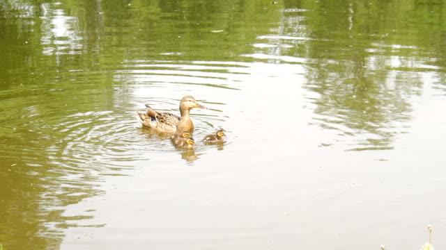 Enten auf den Fluss. – Video