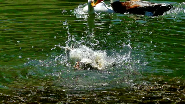 Ducks Swim on a Beautiful Natural Lake video