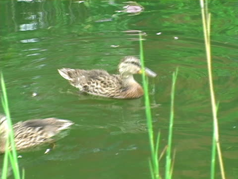 Ducks Swimming 002 Ducks swimming in the pond. water bird stock videos & royalty-free footage