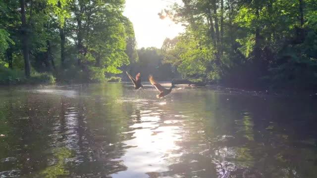 湖から離陸するアヒル - 鳥点の映像素材/bロール