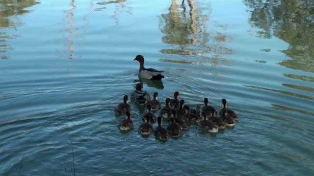 уток - утка водоплавающая птица стоковые видео и кадры b-roll