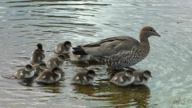 ducks video