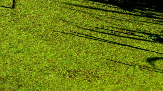 Duckweed In Pond Duckweed flow In the Pond duckweed stock videos & royalty-free footage